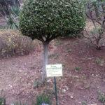 Аллеи Харакского парка, редкие растения - лавр благородный