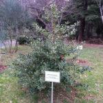 Аллеи Харакского парка, редкие растения - падуб обыкновенный