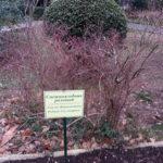 Аллеи Харакского парка, редкие растения - снежноягодник розовый