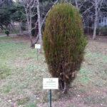 Аллеи Харакского парка, редкие растения - туя западная