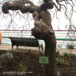 Софора японская, смотровая площадка Харакский парк