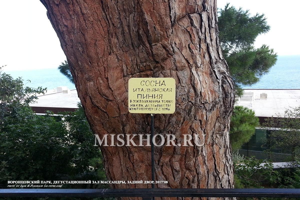 Сосна пиния Воронцовский парк