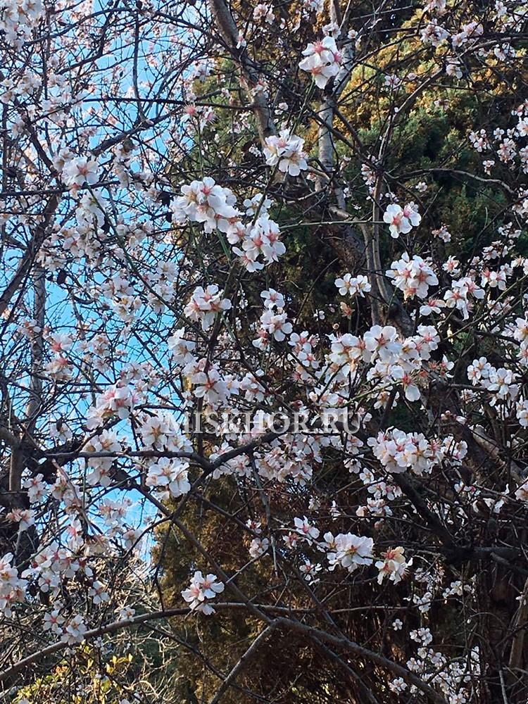 Цветущий миндаль в Приморском парке г.Ялта